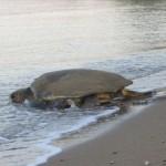 Άρχισε η Ωοτοκία της Θαλάσσιας Χελώνας στη Ζάκυνθο